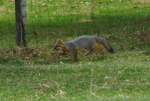 fox--500x339