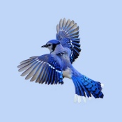 bluejay in flight