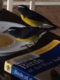 martiniquebirdsonbirdbook